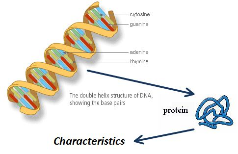 dna diagram gene read all wiring diagram DNA Base Pairs